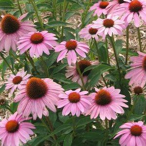 Echinacea Prairie Splendor - Echinacea purpurea - Perennial Flower Seeds