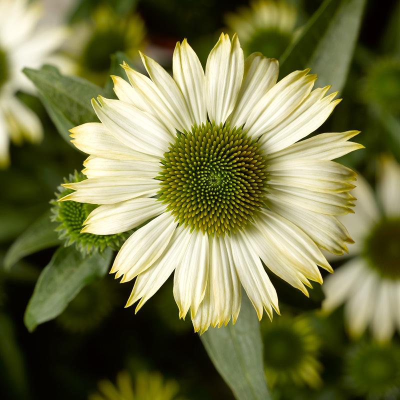 Echinacea White Compact Prairie Splendor