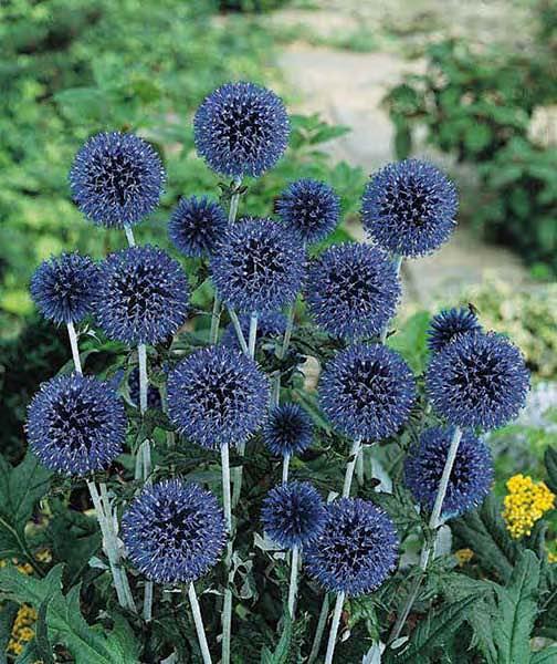 Globe Thistle Seeds Blue White Globe Thistles Perennial Flower
