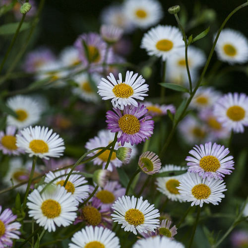 Santa Barbara Daisy Seeds Erigeron Ground Cover Seeds
