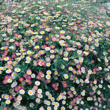 Santa Barbara Daisy - Erigeron karvinskianus Profusion