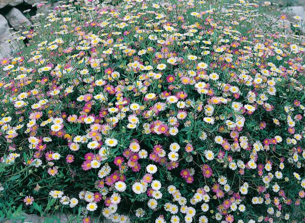 Santa Barbara Daisy blooming.
