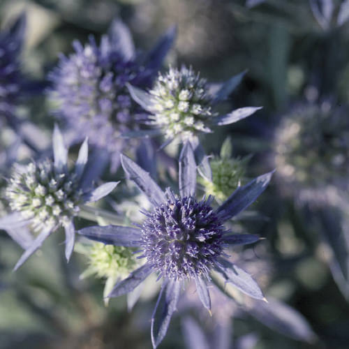 Sea Holly Blue Hobbit - Eryngium planum