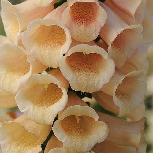 Foxglove Dalmatian Peach - Digitalis purpurea
