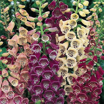 Foxglove Excelsior Hybrids - Digitalis purpurea