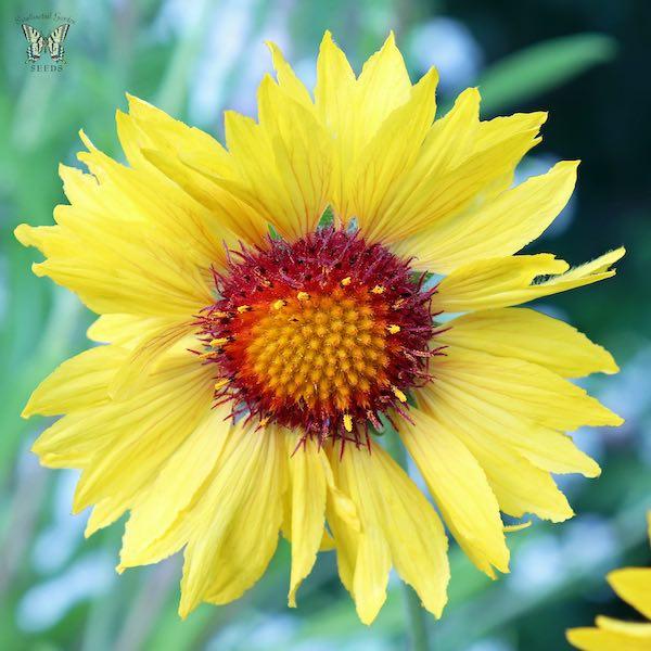 Gaillardia Amber Wheels - Gaillardia aristata