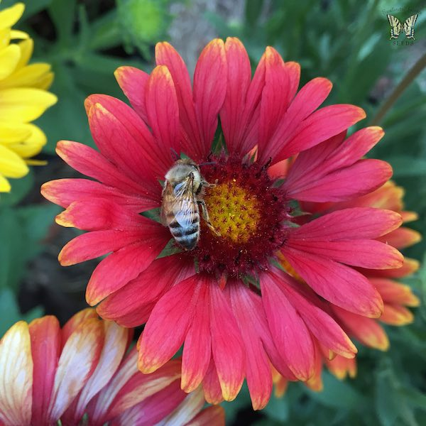 Arizona Red Shades gaillardia flower with bee