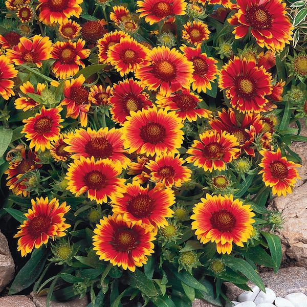 Gaillardia seeds 10 gaillardias perennial flower seeds Plants that love sun and heat