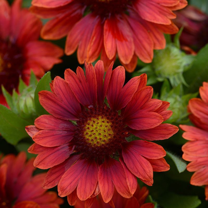 Gaillardia Mesa Red - perennial flower seeds