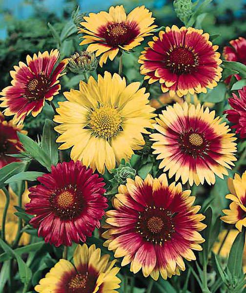 Gaillardia Single Mix - Gaillardia aristata