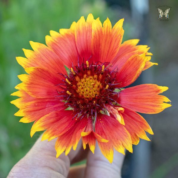 Gaillardia Tokajer flower in hand- Gaillardia aristata