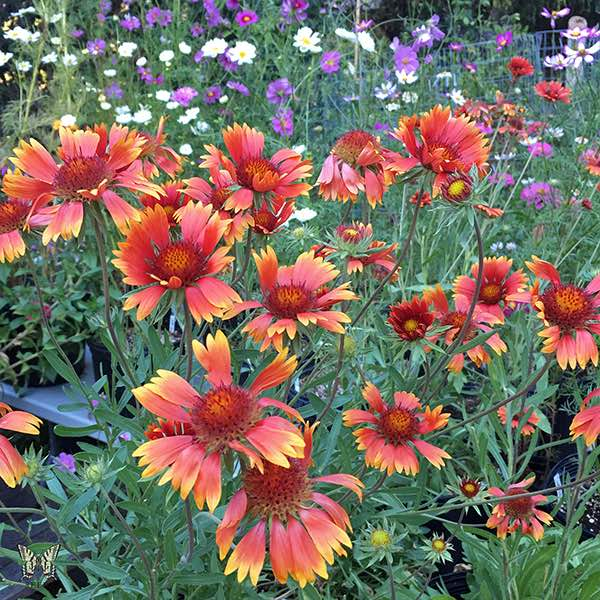 Tokajer Gaillardia flowers