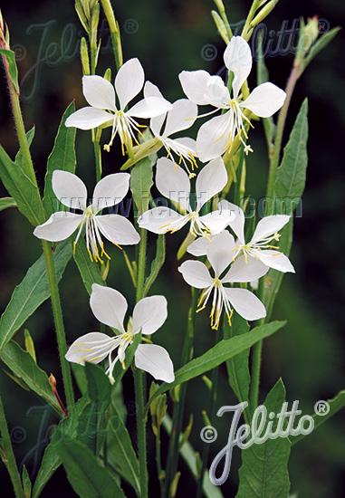 Cool Breeze Gaura Seeds Perennial Flower Seeds