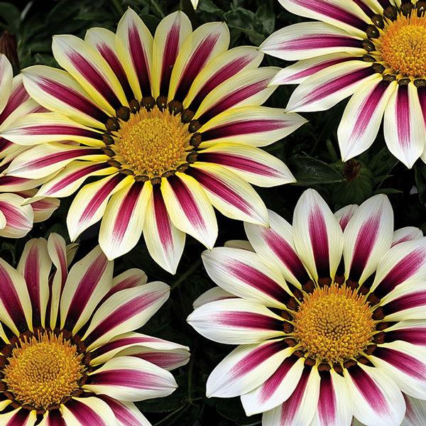 Gazania Big Kiss White Flame flowers