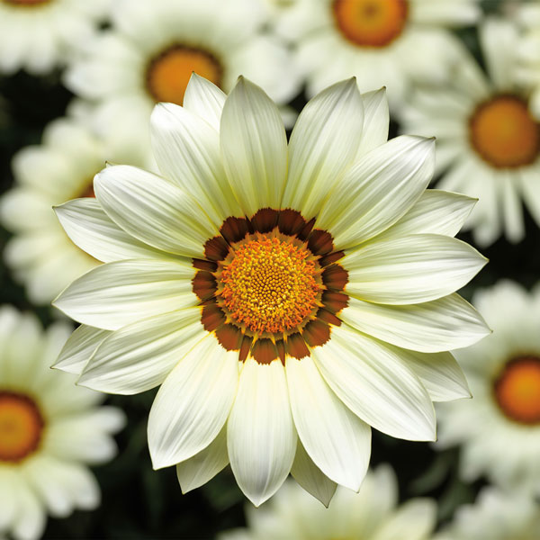 Gazania seeds 9 top gazanias annual flower seeds gazania big kiss white flowers mightylinksfo