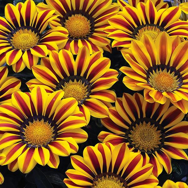 Gazania Big Kiss Yellow Flame flowers