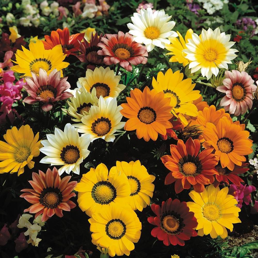 Gazania Gazoo Formula Mix flowers