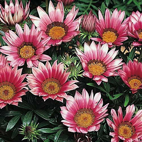 Gazania Kiss Rose flower garden seeds