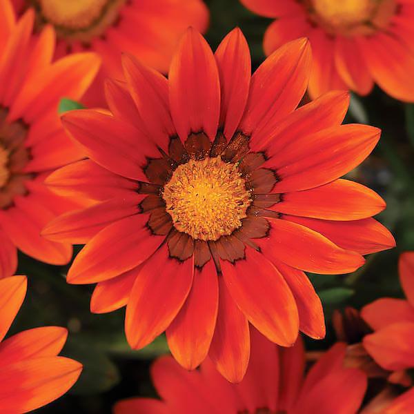 Gazania New Day Bronze Shades flower garden seeds