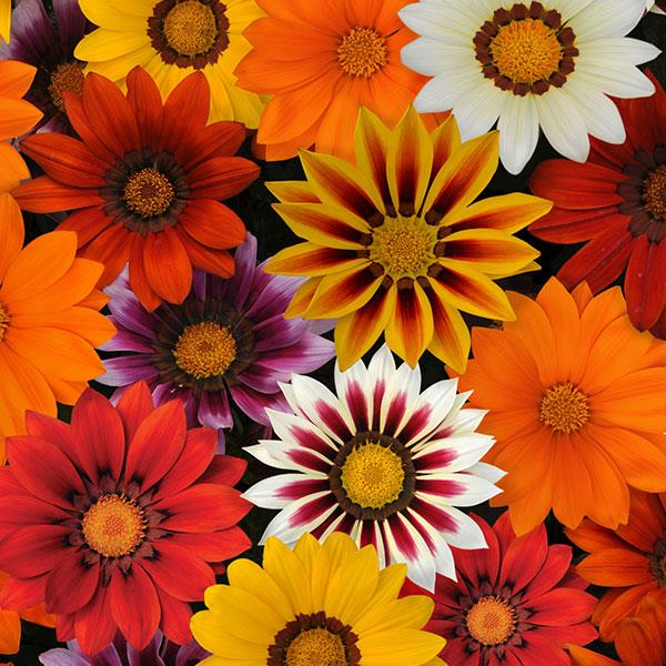 Gazania New Day Mixture flowers