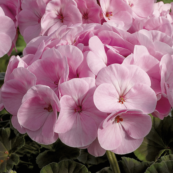Geranium BullsEye Light Pink