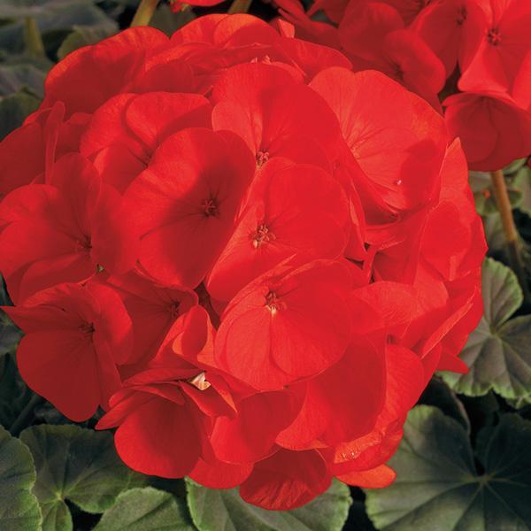 Geranium BullsEye Scarlet - Annual Flower Seeds