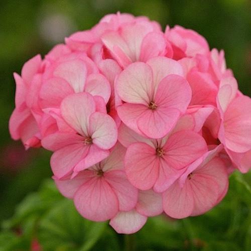Geranium Divas Ice Rose