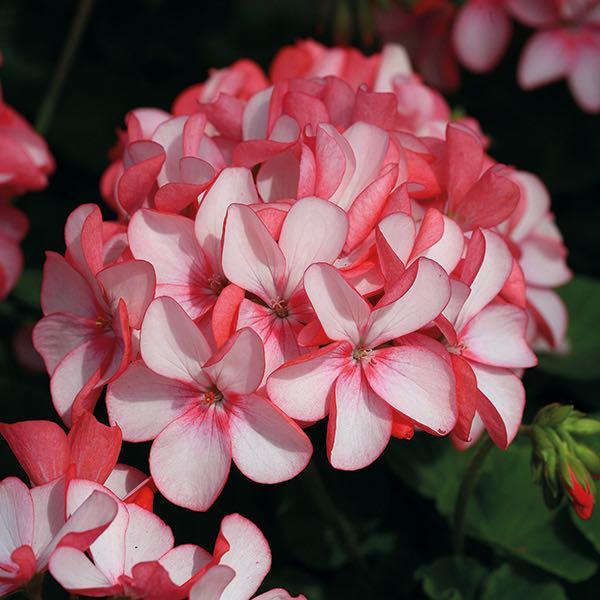 Geranium Horizon Pink Meteor flowers