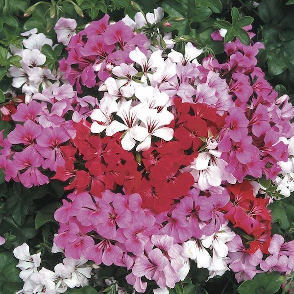 Ivy Geranium Tornado Mix flowers