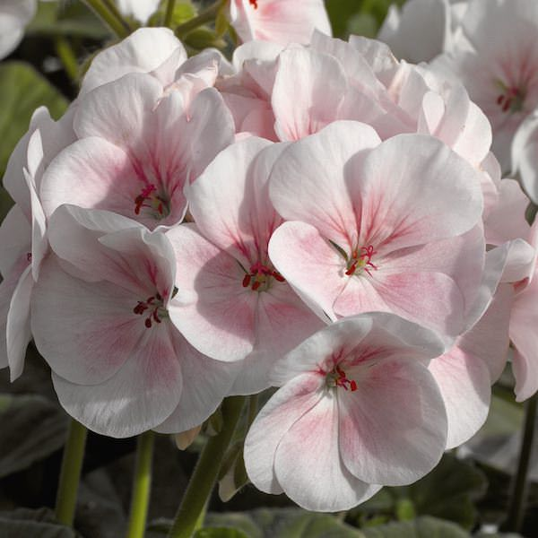 Geranium Maverick Appleblossom