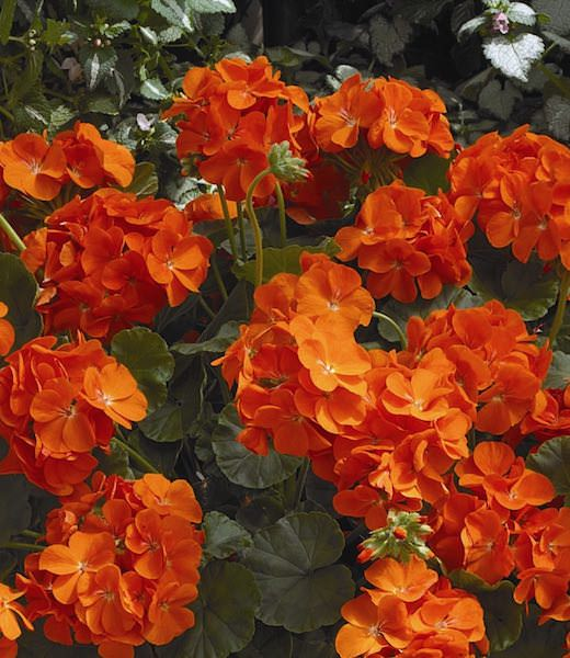 Geranium Maverick Orange