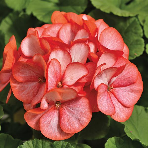 Geranium Maverick Scarlet Picotee