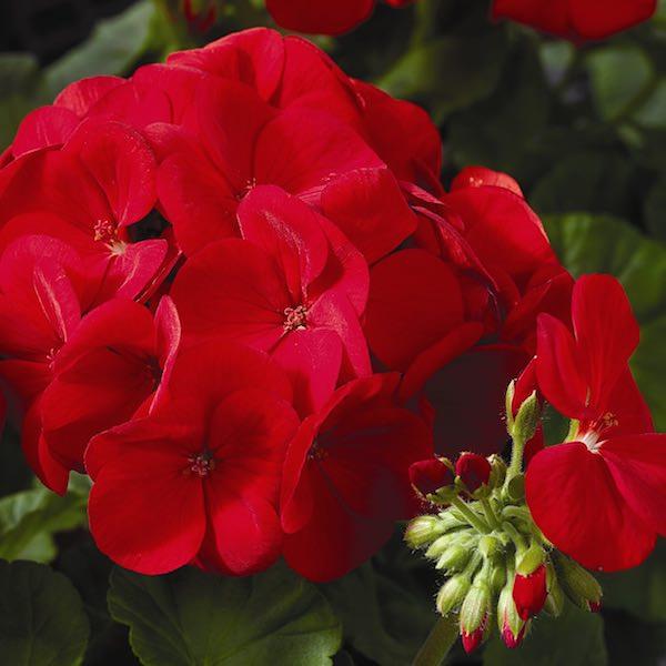 Geranium Maverick Scarlet
