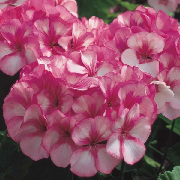 Geranium seeds 20 geraniums swallowtail garden seeds geranium maverick star mightylinksfo