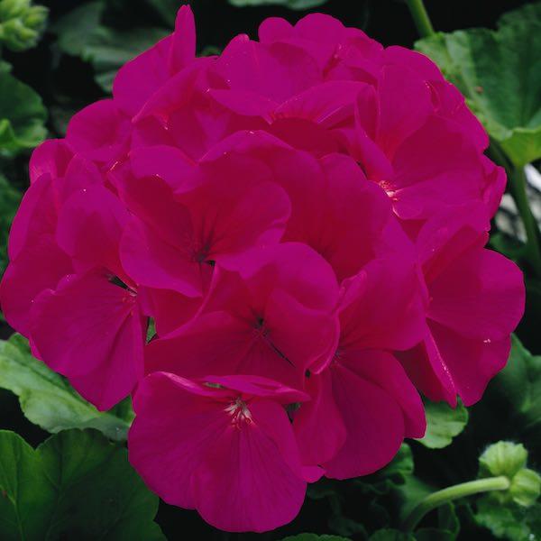 Geranium Maverick Violet