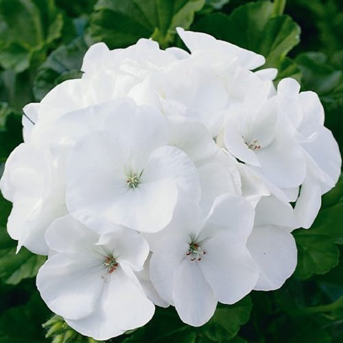Geranium Maverick White - Annual Flower Seeds