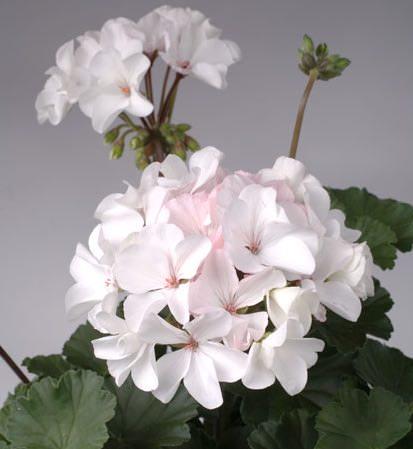Geranium Nano White - Annual Flower Seeds