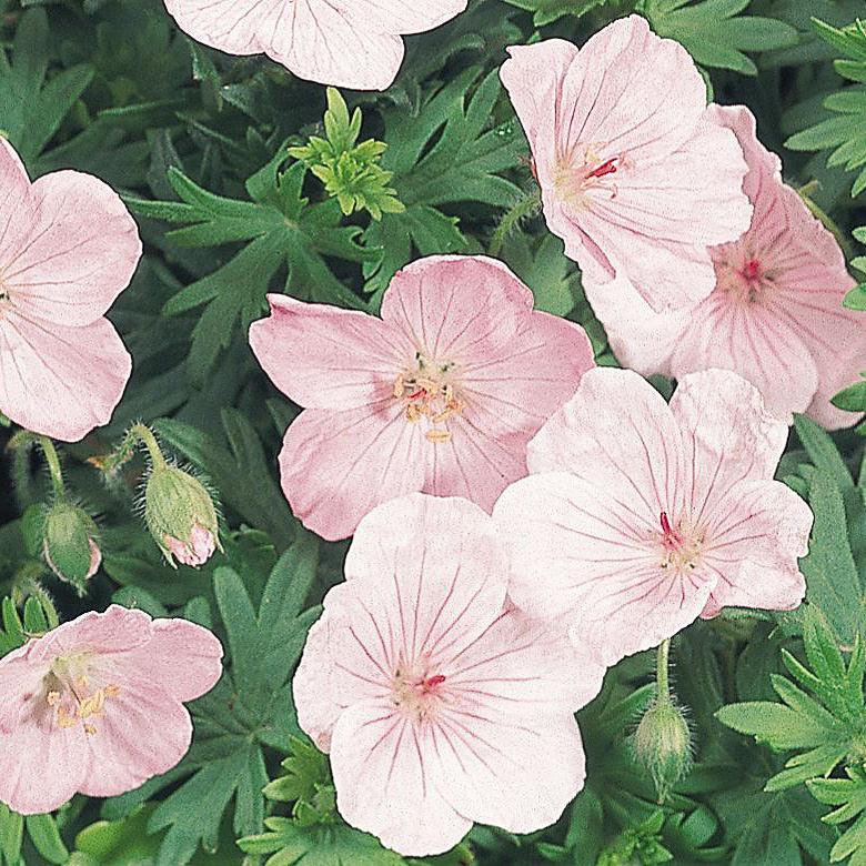Geranium Vision Light Pink - hardy perennial - Geranium sanguineum