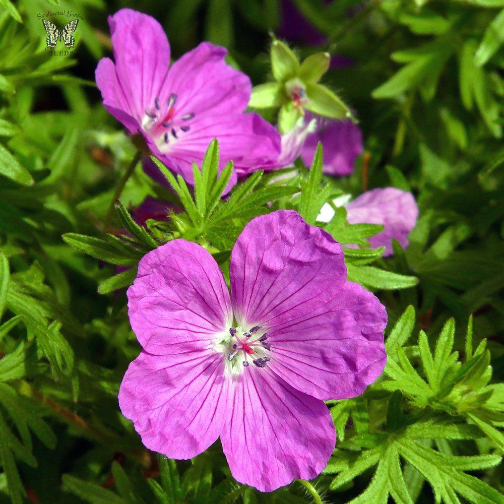 Vision Violet geranium