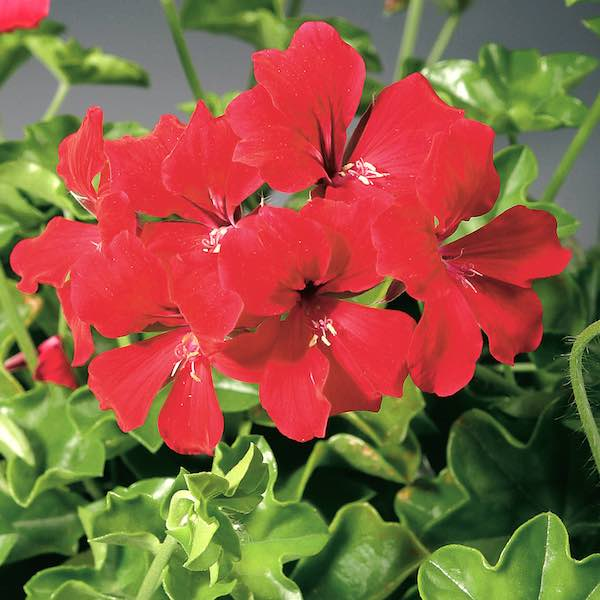 Ivy Geranium Tornado Red flowers