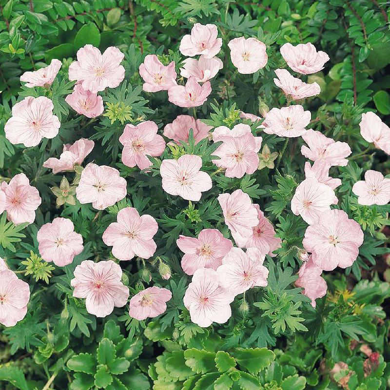 Vision Light Pink geranium