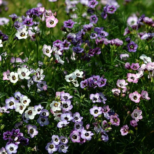 Felicitas Bird's Eyes seeds - Gilia tricolor