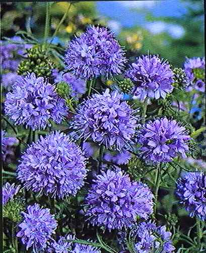 Blue Thimble Flower, Globe Gilia seeds
