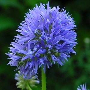 Globe Gilia annual flower seeds