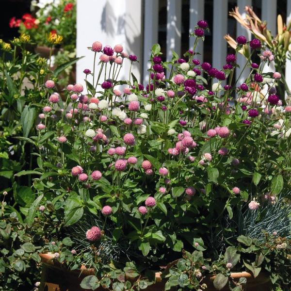 Las Vegas Mix gomphrena flower garden