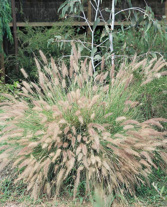 Chinese Fountain Grass - ornamental grass - Pennisetum alopecuroides