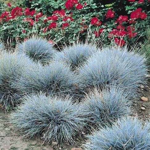 Ornamental grass seeds 10 top grasses perennial flower for Low mounding ornamental grasses