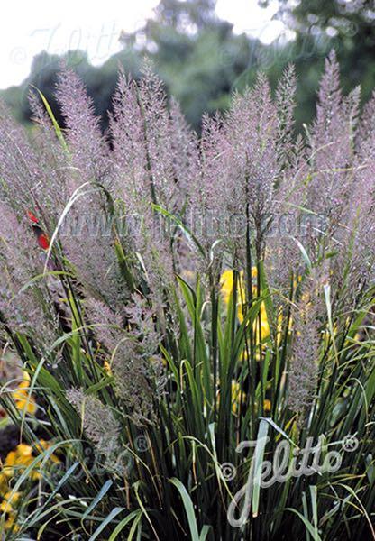 Korean Feather Reed Grass - ornamental grass - Calamagrostis brachytricha