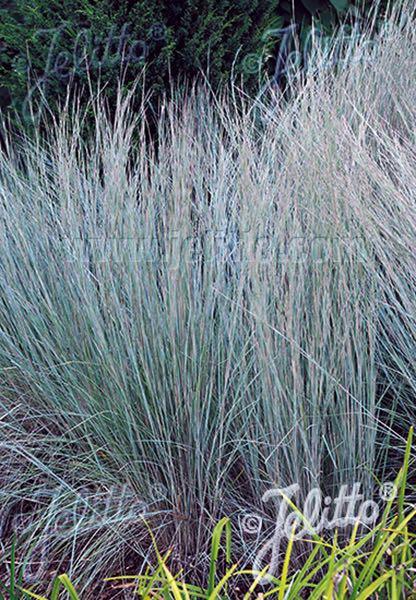 Prairie Blues Little Bluestem - ornamental grass - Schizachyrium scoparium