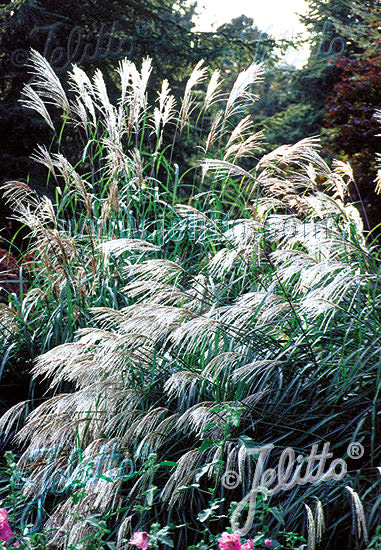 Miscanthus Early Hybrids - ornamental grass - Miscanthus sinensis